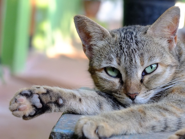 Cat With Paw Out