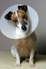 Elizabethan Collar On A Dog
