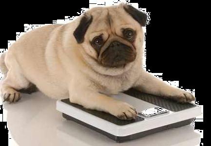Pug on a Scale