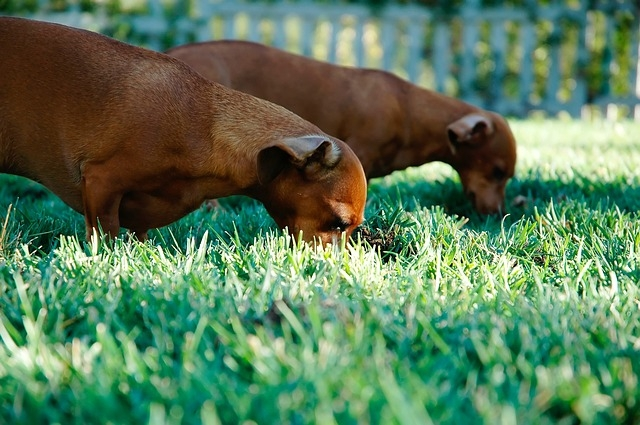 Dogs eating grass