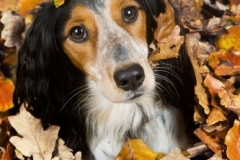 dog playing in a pile of leaves