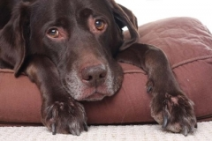 dog with arthritis
