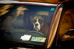dog left in a hot car