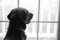 bored dog at the window